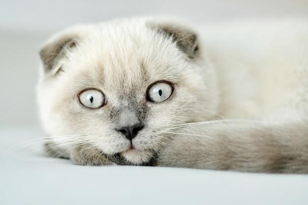 Weiße hauskatze der schottischen falte, die im bett liegt. schönes weißes kätzchen. porträt des schottischen kätzchens mit blauen augen. nettes weißes katzenkätzchen falten graue ohren. gemütliches zu hause. tierische haustierkatze. kopienraum hautnah.
