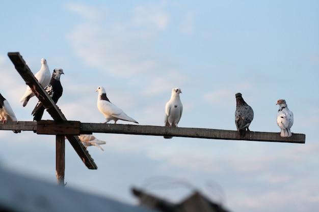Weiße haustauben sitzen auf einer stange und fliegen in den himmel.