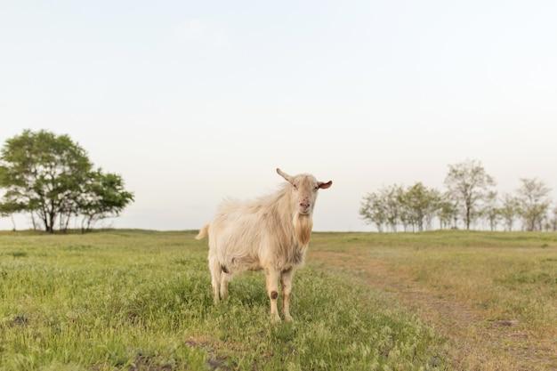 Weiße hausziege auf einer farm auf einem grünen rasen bei sonnenuntergang. heimatfarm.