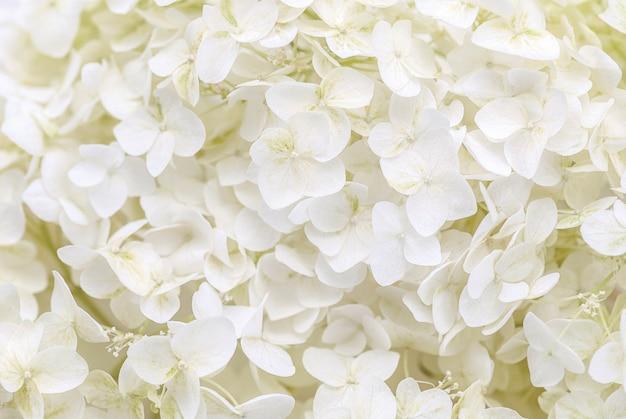 Weiße hortensienblüten als floraler hintergrund