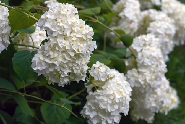 Weiße hortensienblüten (hydrangea arborescens l.) floweribg im garten