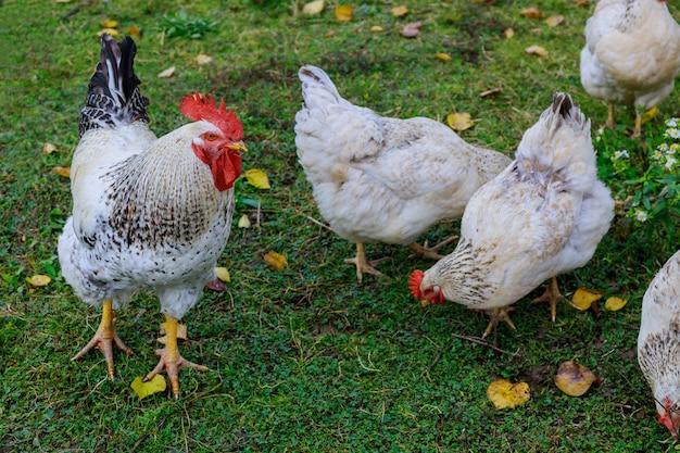Weiße hühner und hahn, die auf grünen gras-tieren gehen