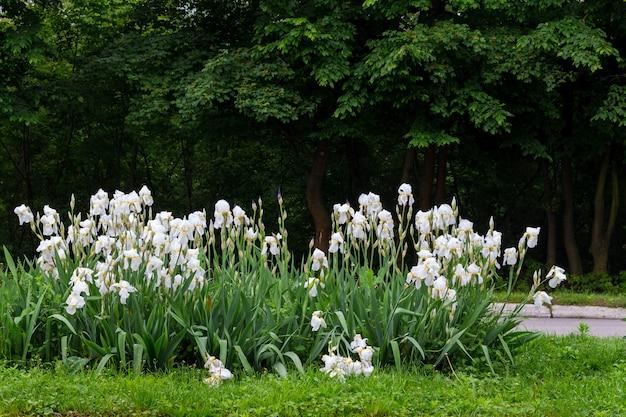 Weiße iris auf einem blumenbeet im park auf einem hintergrund von bäumen