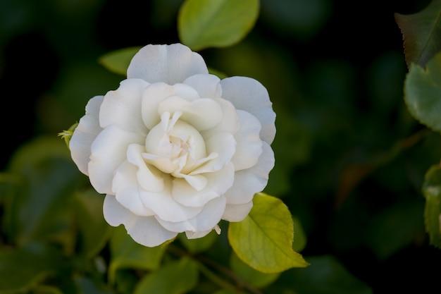 Weiße japanische kamelie (camellia japonica) blüht am iseosee in italien