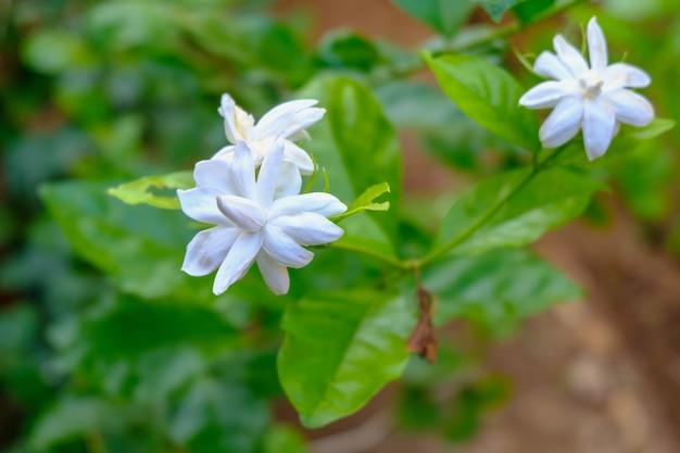 Weiße jasminblüte mit grünem blatt natur
