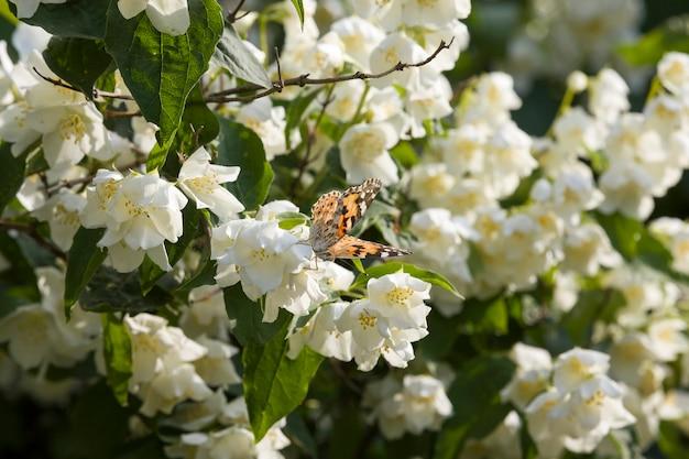 Weiße jasminblüten in der frühlingssaison jasminblüten