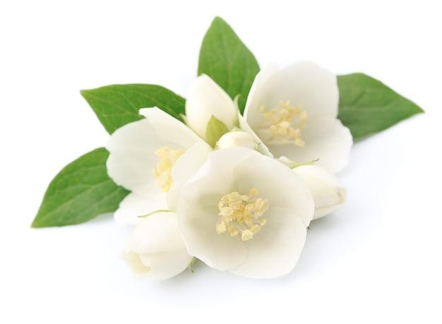 Weiße jasminblüten lokalisiert auf weiß