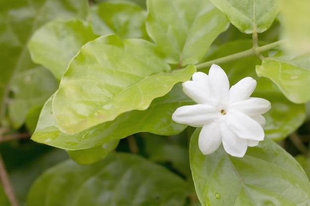 Weiße jasminblume mit grünem blatt
