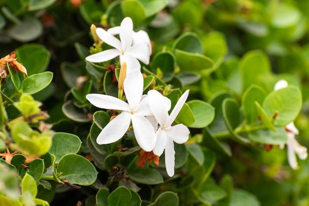 Weiße jasminpflanzen