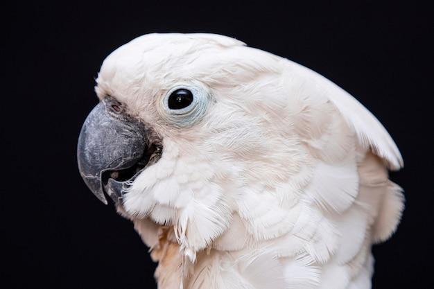 Weiße kakadu-nahaufnahme mit schwarzem.