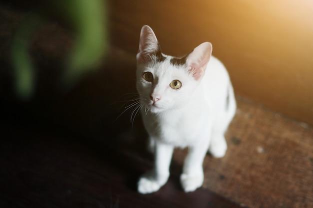 Weiße katze des kätzchens, die sitzt und auf holzfußboden mit sonnenlicht genießen