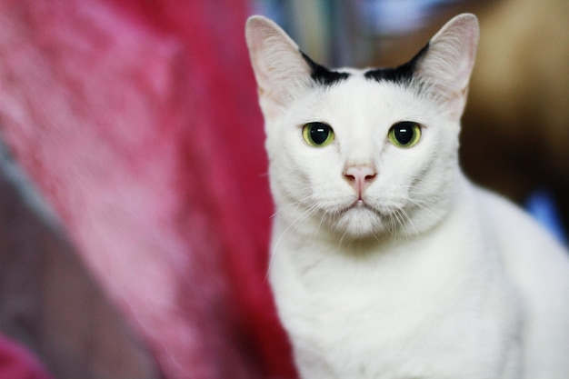 Weiße katze, die auf dem tisch sitzt und genießt