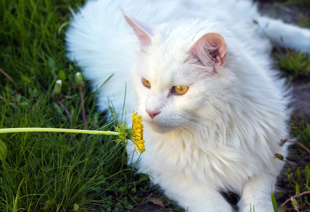 Weiße katze maine coon, die auf grünem gras mit blume spielt