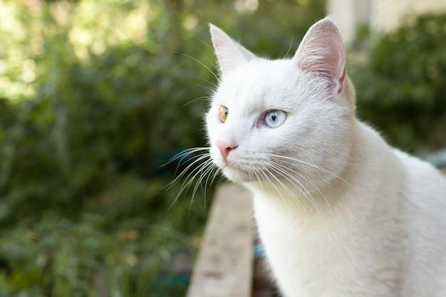Weiße katze mit bunten augen