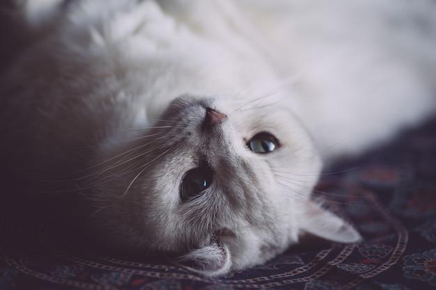 Weiße katze ruht auf dem bett im schlafzimmer. katzenblick
