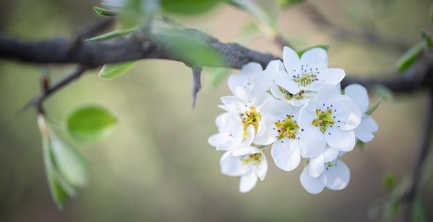 Weiße kirsch-, kirsch- oder birnenblüten