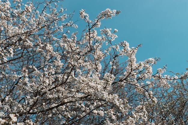 Weiße kirschbaumblumen im frühlingsgarten über himmelhintergrund