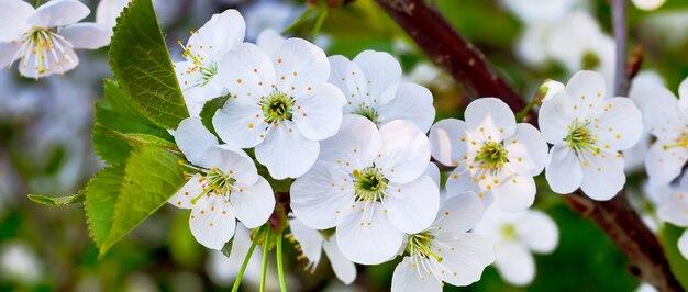 Weiße kirschblüten an einem sonnigen tag. blüte der kirsche_