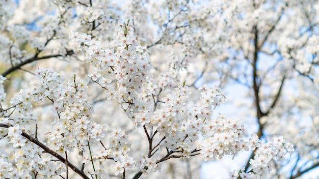 Weiße kirschblüten blühen im frühjahr.
