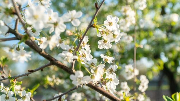 Weiße kirschblüten blühen im frühling