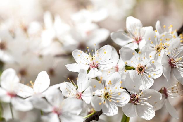 Weiße kirschblüten im frühling während der blühenden pflanzen. foto nahaufnahme mit einer kleinen schärfentiefe.
