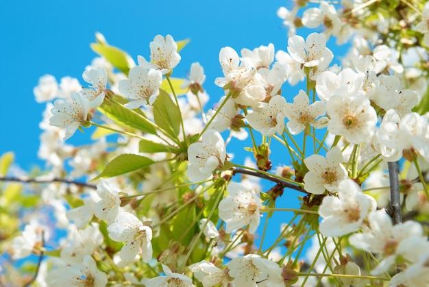 Weiße kirschblüten mit blauem himmelshintergrund