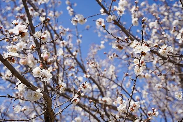 Weiße kirschblüten-sakura im frühling gegen blauen himmel. naturhintergrund. weicher fokus.