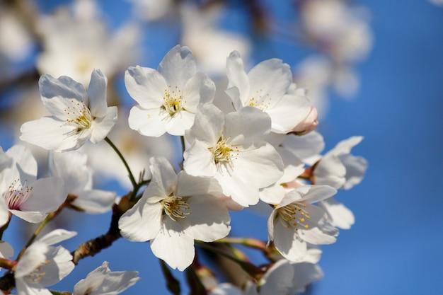 Weiße kirschblütenblüten, die auf einem baum mit verschwommenem hintergrund im frühjahr blühen