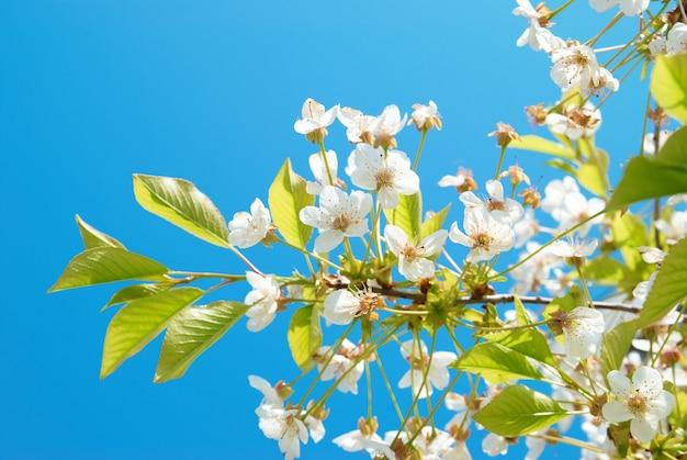 Weiße kirschblumen mit blauem himmel