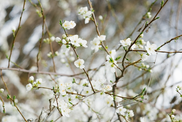 Weiße kirschblumen nahaufnahme im frühlingsgarten. selektiver fokus. frühlingsblüte. der frühling ist gekommen