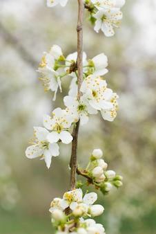 Weiße kirschblumen nahaufnahme im frühlingsgarten