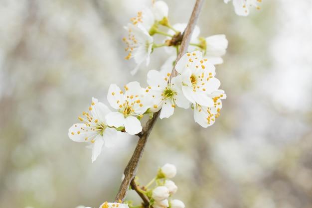 Weiße kirschblumen nahaufnahme im frühlingsgarten.