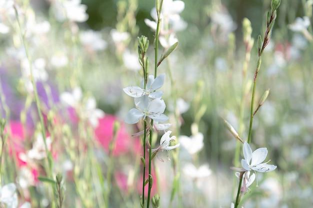 Weiße kleine blumen vor dem hintergrund eines blühenden feldes.