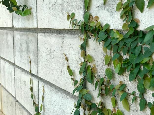 Weiße kletterpflanze der weißen betonmauer