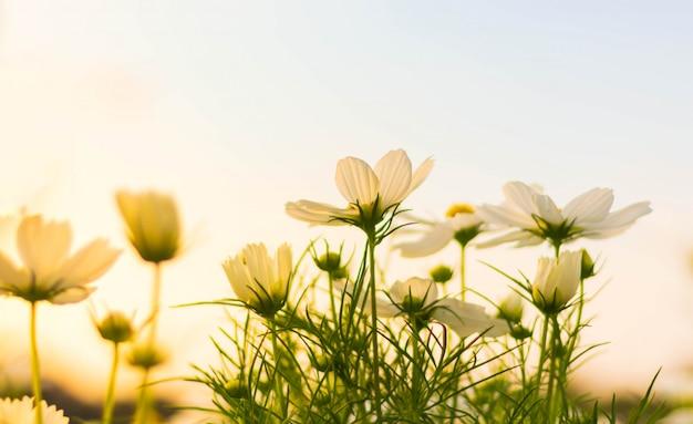 Weiße kosmosblume, die schön für hintergrund blüht.