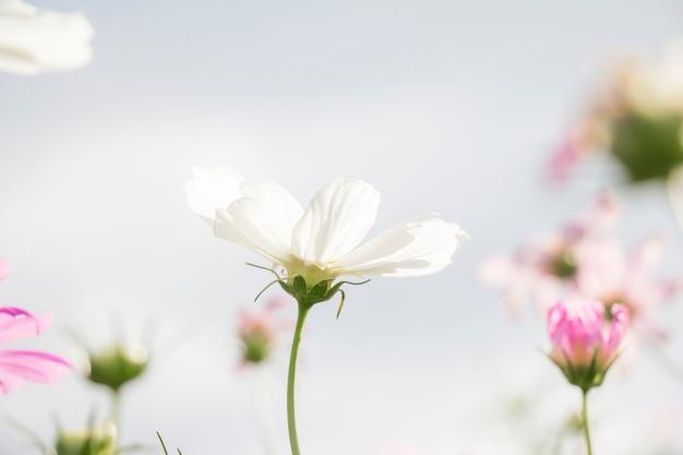 Weiße kosmosblume im garten