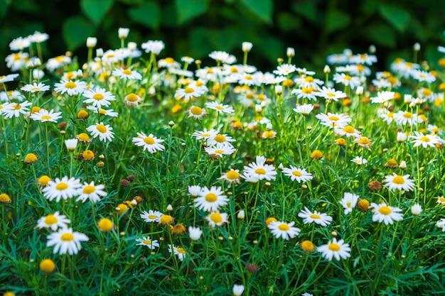 Weiße küstengänseblümchen in einem frühlingsgarten.