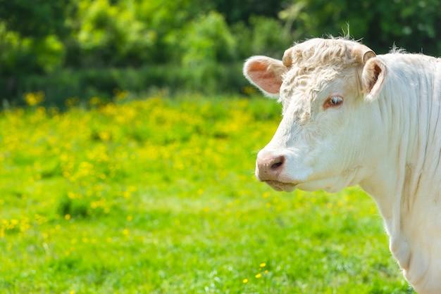 Weiße kuh an der grünen wiese