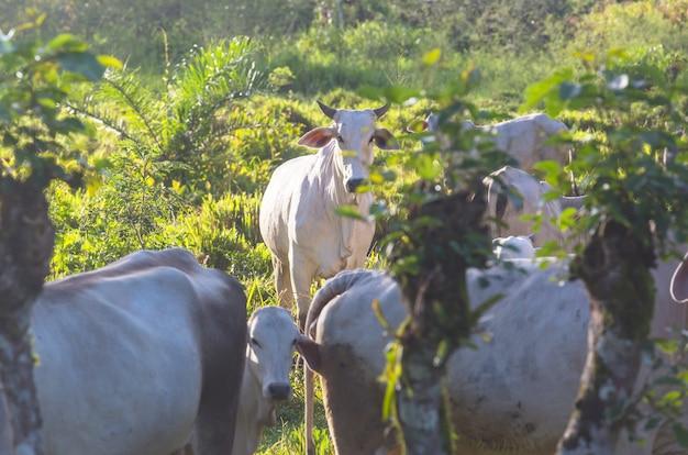 Weiße kuh auf der wiese
