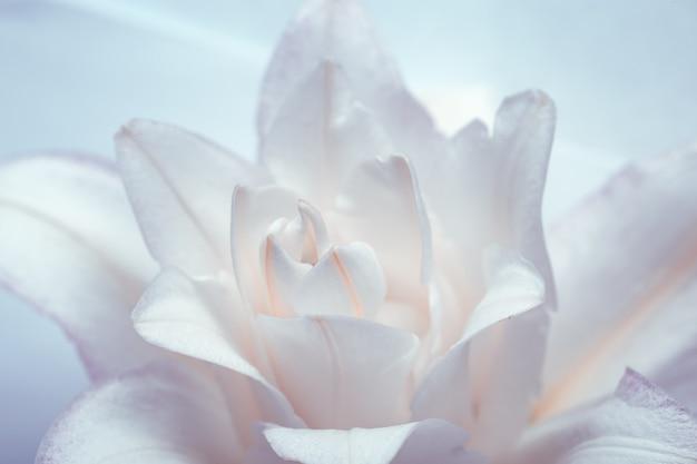 Weiße lilieblume schließen herauf blütenblätter der pfingstrosenlilie auf blauem natürlichem blumenhintergrund makrofotografie