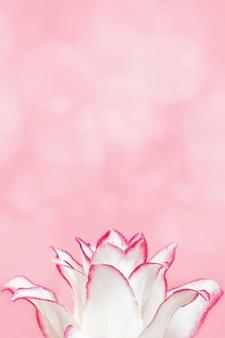Weiße lilienblume, nah oben blütenblätter der pfingstrosenlilie auf rosa. natürlicher blumenhintergrund. makrofotografie.