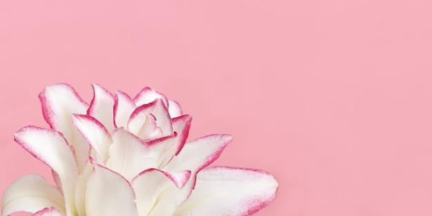 Weiße lilienblume schließen herauf blütenblätter der pfingstrosenlilie auf rosa natürlichem blumenbanner