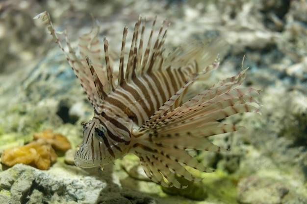 Weiße linie feuerfisch
