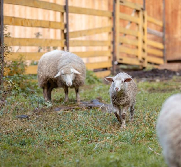 Weiße lockige schafe hinter einer hölzernen koppel auf dem land. schafe und lämmer grasen auf dem grünen gras. schafzucht. hauswirtschaft.