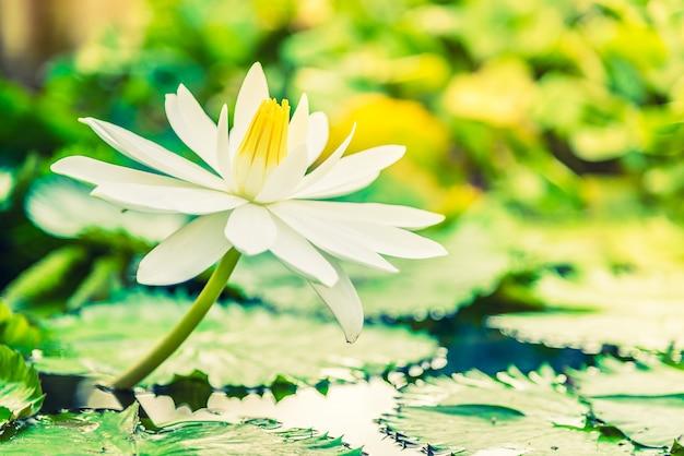 Weiße lotosblume