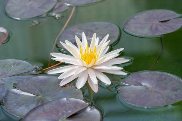 Weiße lotusblume, die mit grünem blatt blüht