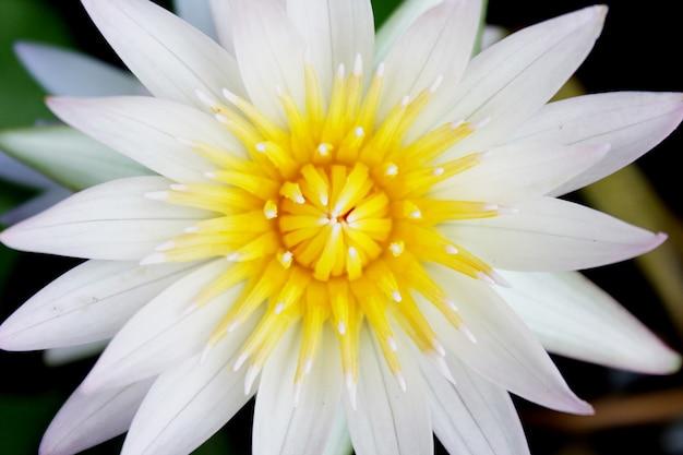 Weiße lotusblumen, die im teich blühen