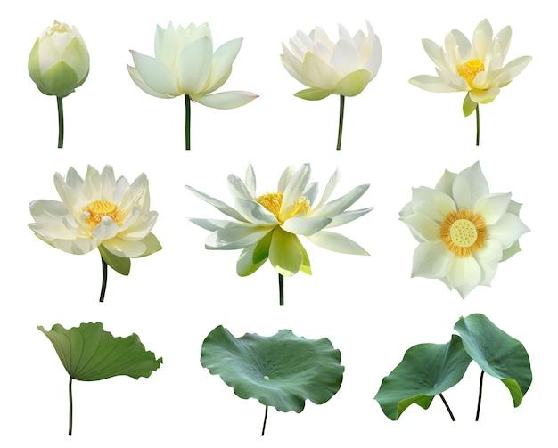Weiße lotusblumen und grünes blatt isolieren auf weißem hintergrund