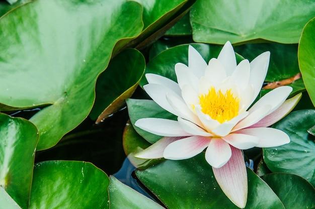 Weiße lotuslilien, die mit reflexion schweben
