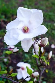 Weiße magnolie im garten